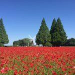 柏『あけぼの山農業公園』季節を彩るお花畑と風車のある公園
