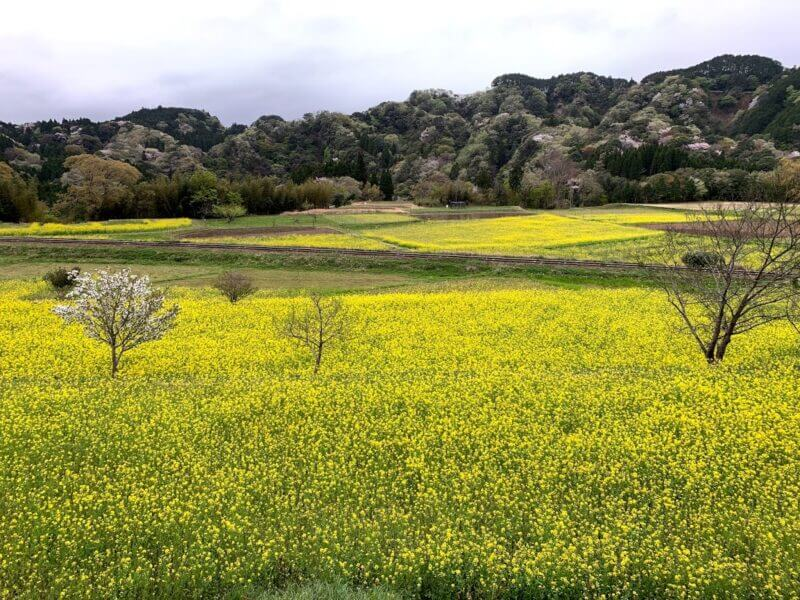 石神菜の花畑