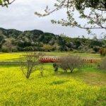 『石神菜の花畑』菜の花畑と桜の中を走る小湊鉄道
